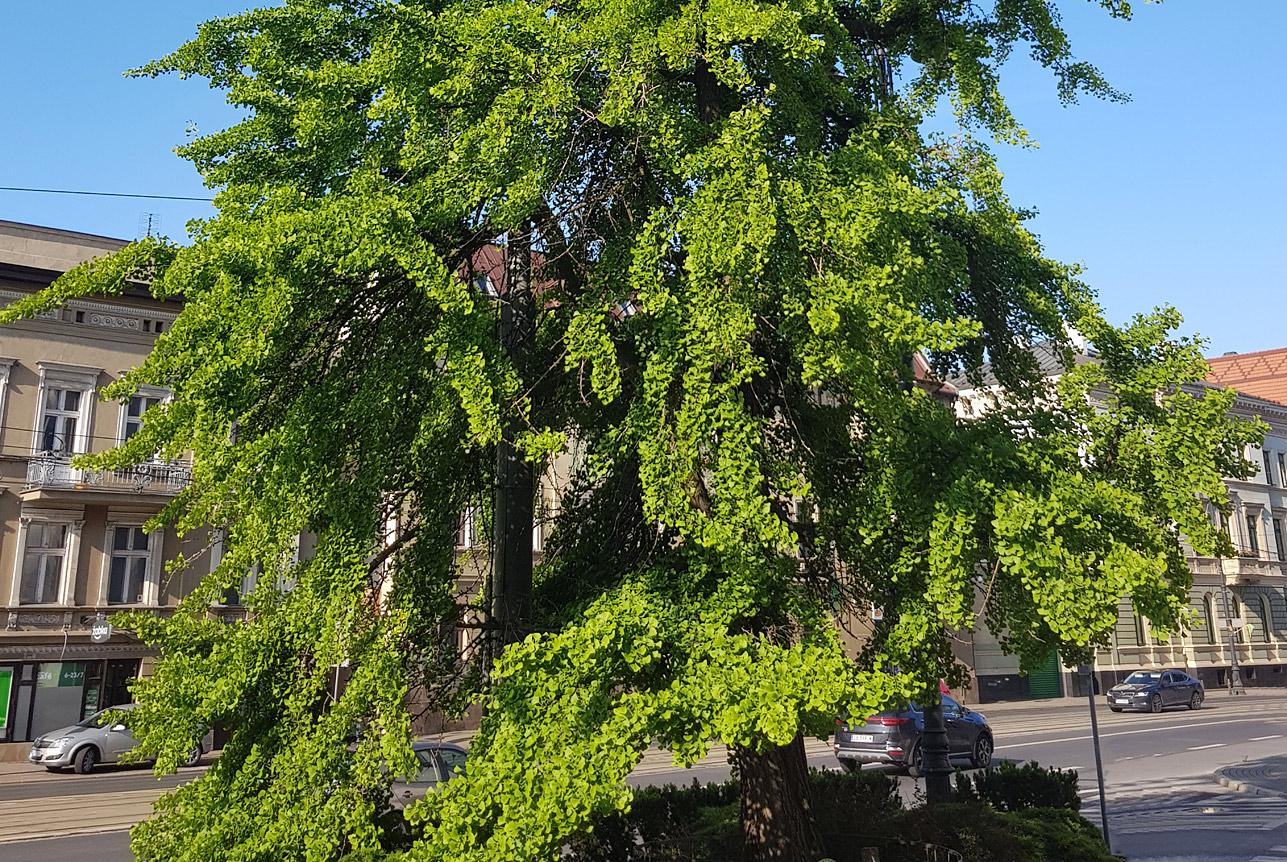 Bydgoski Miłorząb ma szansę na tytuł Drzewa Roku 2020